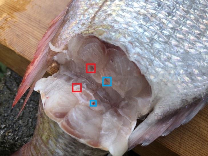 真鯛の神経と血管の位置