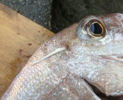 真鯛の神経